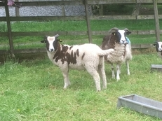 Jacob sheep - 2 horn for sale - Cumbria