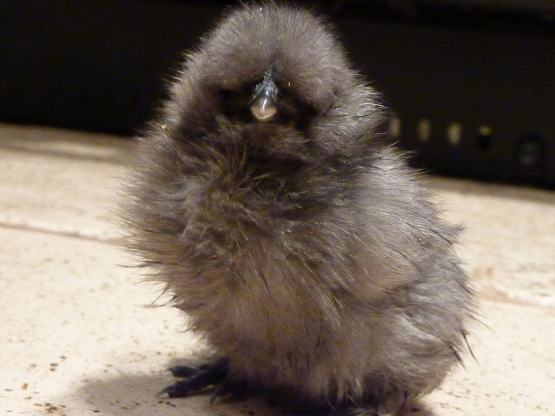 Pure Silkies For Sale - Chicks, Cockerels And Hatching Eggs