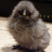 Pure Silkies For Sale - Hens, Chicks, Cockerels And Hatching Eggs