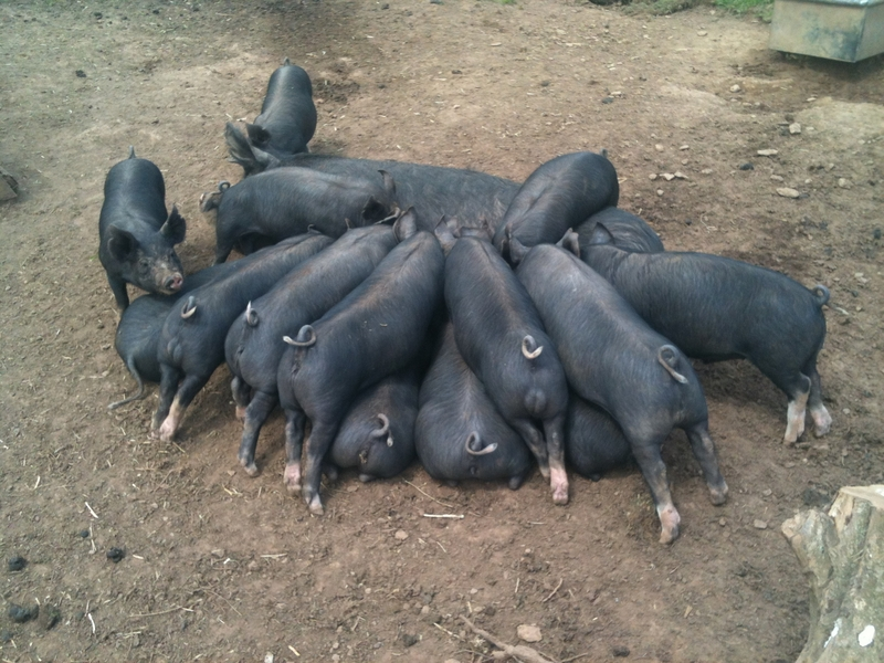 Strong Healthy Pedigree Berkshire Weaners. Free Range Electric Fence Trained, Devon