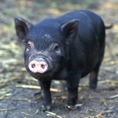 Micro-pigs For Sale