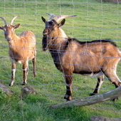 English Goat Wether (castrated male) and Buckling ( 1-2 year old)...