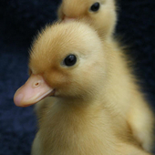 Miniature White Call Ducklings For Sale