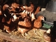 Hybrid female point of lay hens bovan for sale in United Kingdom