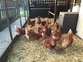 Chickens for sale in United Kingdom