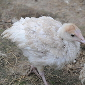 Turkey poults for sale - Heritage Bourbon Red