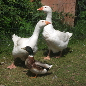 Pair of Ebden Geese