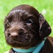 kc reg chocolate cocker spaniel