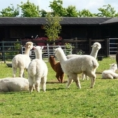 Alpacas for Sale (Wiltshire)