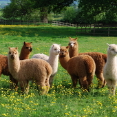 Alpacas for sale due to retirement