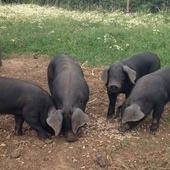 Large Black weaners for sale