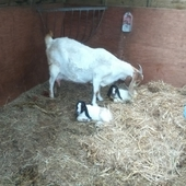 Boer Wether and Doe kids for sale