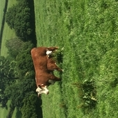 Top quality pedigree herefords