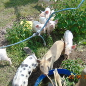 Piglets/pigs for sale