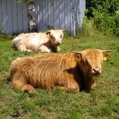 2 pedigree highland bulls for sale