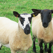 Suffolk Mule Yearling Ewes
