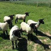 6 Suffolk Cross Shearling Ewes For Sale