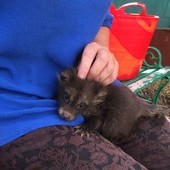 Raccoon Dogs for sale