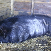 Price reduced! Pure Black Kune Kune Half Price!