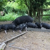 Berkshire x Large Black Weaners for Sale
