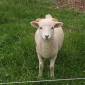 Wiltshire Horn cross 3/4 month old