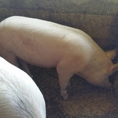 Large white gilts for sale
