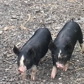 Pedigree Berkshire weaners for sale