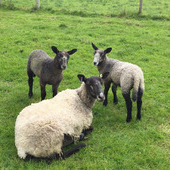 Gotland x bluefaced leicester wethers for sale