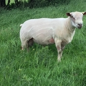 For sale Charollais tup