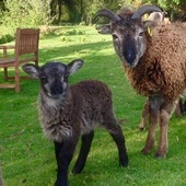 soay lambs for sale