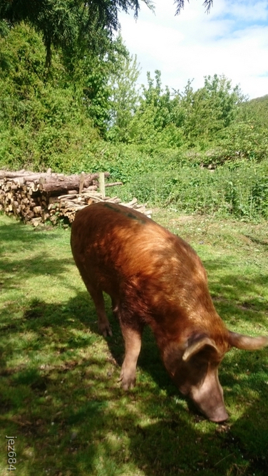 Friendly, productive Tamworth Boar for sale or hire Herefordshire