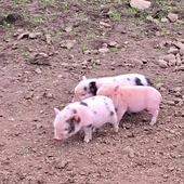 Gorgeous Castrated Male Micro Pot Bellied Piglet for Sale