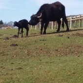 Water buffalo cow and calf for sale