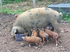 Oxford Sandy and Black Weaners