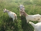 Goats for sale to good home. West Sussex