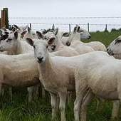 cheviot mule hoggs for sale