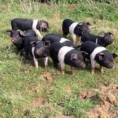 Weaners for sale.