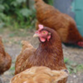 Warren Chickens for Sale - Point of Lay