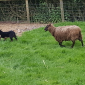 Shetland sheep, various ages and colours