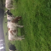 Dairy Heifers for sale