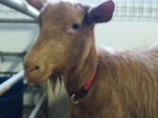 Golden Guernsey 2 year old nanny, with castrated male kid at foot