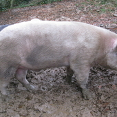 pedigree large white boar for hire
