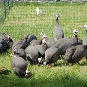 Guinea Fowl for sale