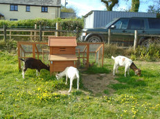 Two Billy Goats for sale - Alpine and Saanen