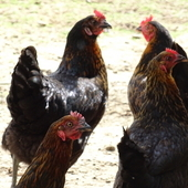 BLACK ROCK CHICKENS POINT OF LAY £12