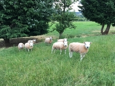 Beltex cross Texel and Beltex cross Charolais Shearling Rams