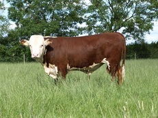 Pedigree Hereford Bull