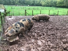 Oxford Sandy & Black (OSB) sow and boar