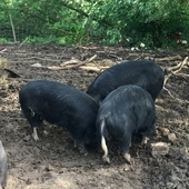 Berkshire pure-bred Gilts for sale