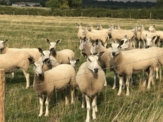 Bluefaced Leicester breeding ewes